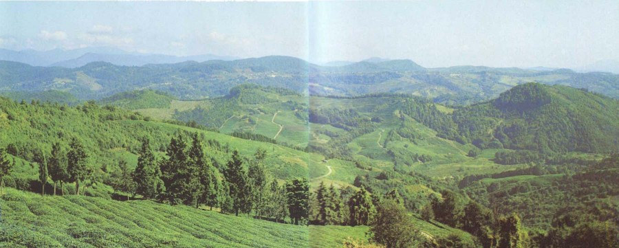 Дагомыс. Чайные плантации